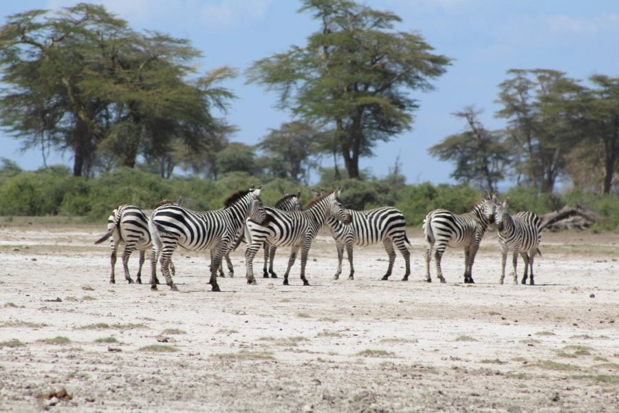 A dazzle of zebra spotted by students during their two day safari in Tarangire National Park